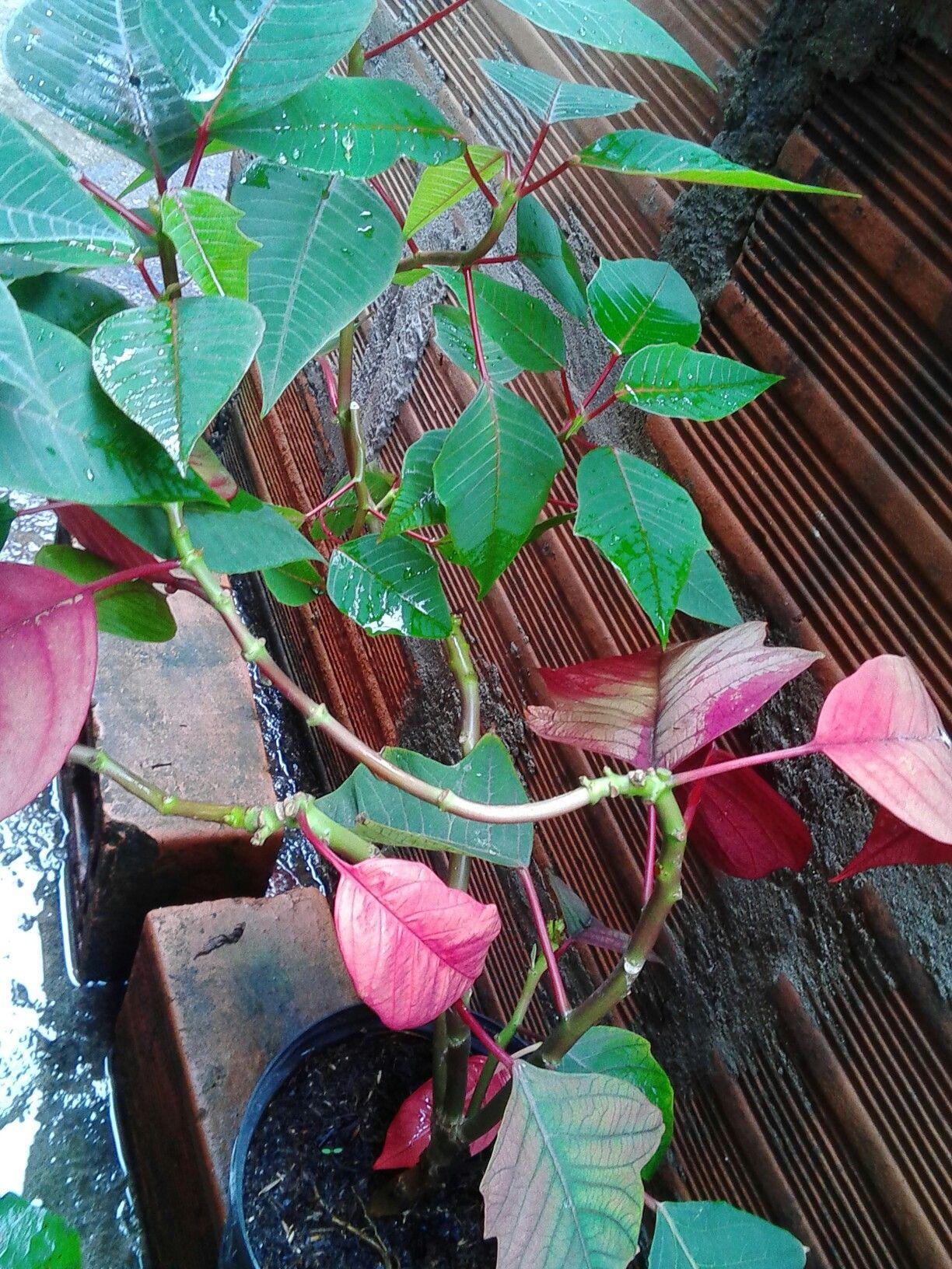 Nuestra flor de navidad ya esta cambiando el color de sus lindas ...