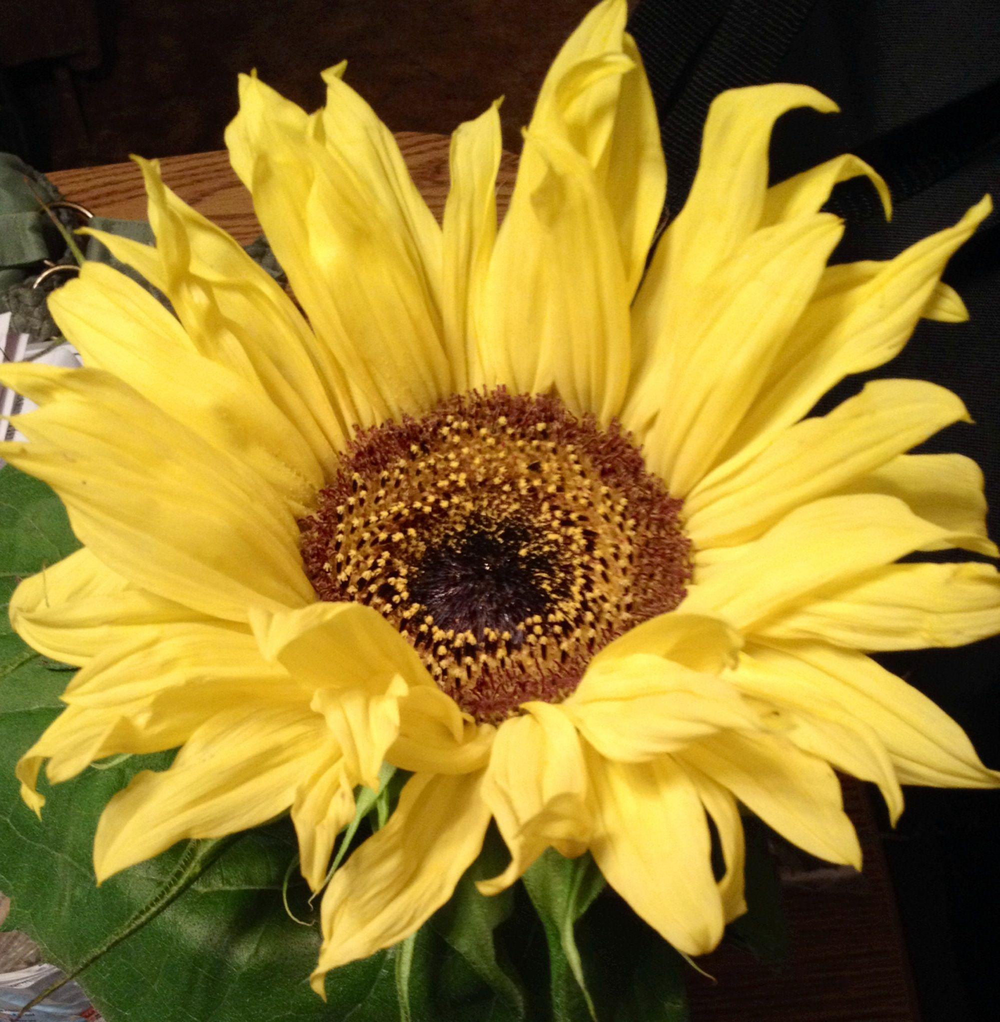 Most Beautiful Plants For Bedroom: The Most Beautiful Sunflower I Have Ever Seen!!