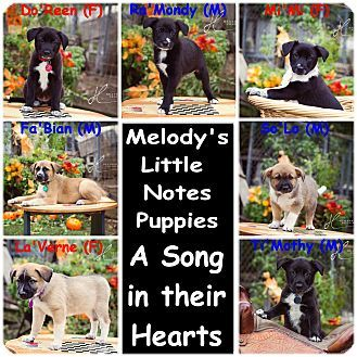 Live Oak In Sutter County Ca Border Collie Mix Meet The Little Note Puppies A Puppy For Adoption Http Www Adoptapet Puppy Adoption Border Collie Collie