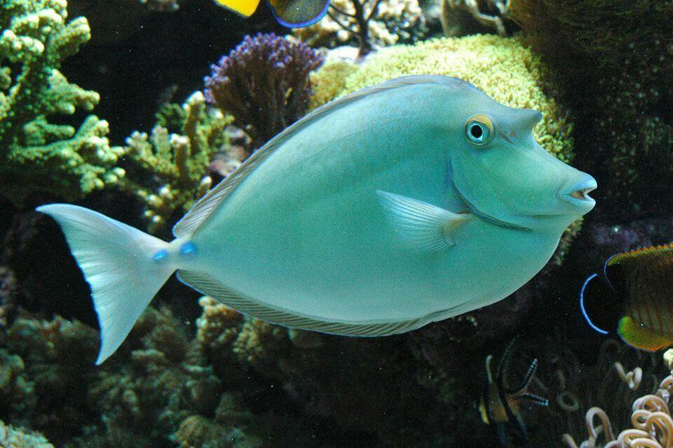 Unicorn Tang Unicorn fish, Fish, Salt water fish