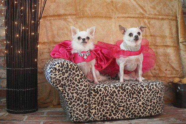 Image Two Chihuahua Dogs Pose For A Portrait In St Petersburg