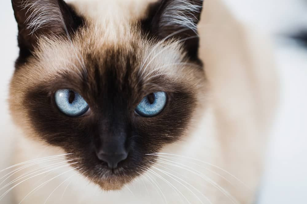 Siamese Cats The Ultimate Guide to their history, types