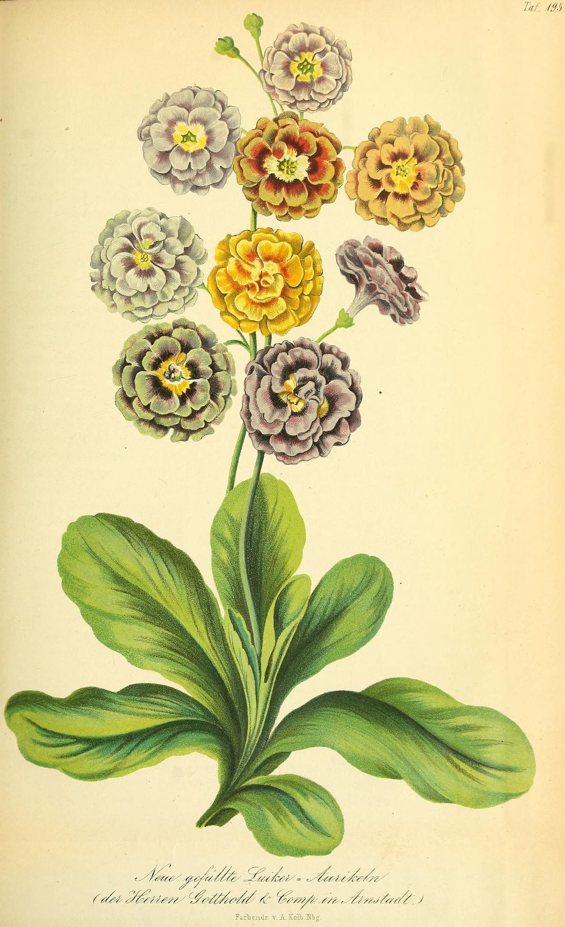 Gartenflora Zeitschrift Für Garten Und Blumenkunde Bd 6 1857