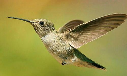 Hummingbird close-up free birds wallpapers