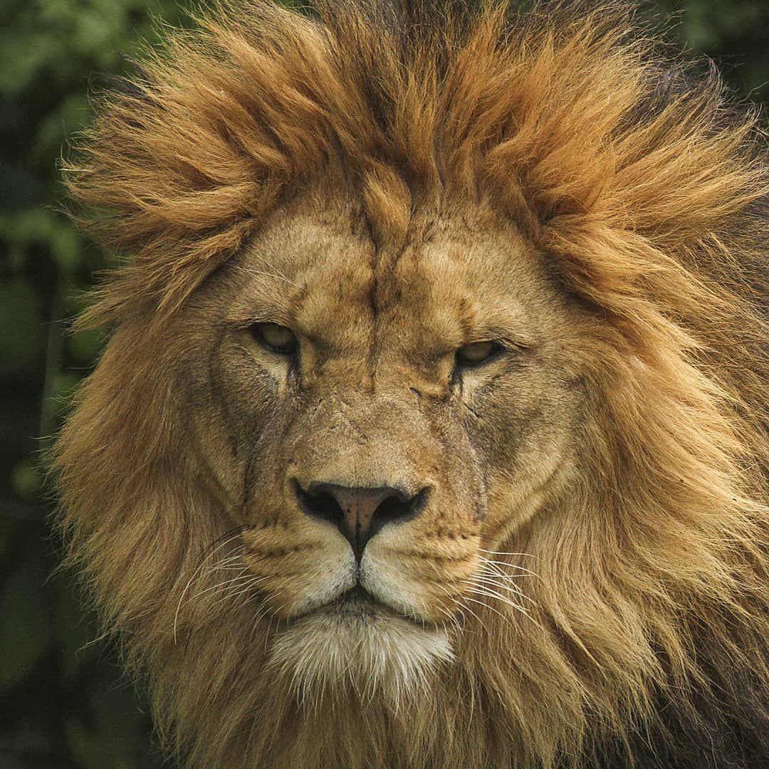 Safari Park Dvur Kralove On Instagram Kral Zvirat King Of Animals Foto Marketa Grunova Safari Park Dvur Kra Lion Head Tattoos Baby Animals Animals