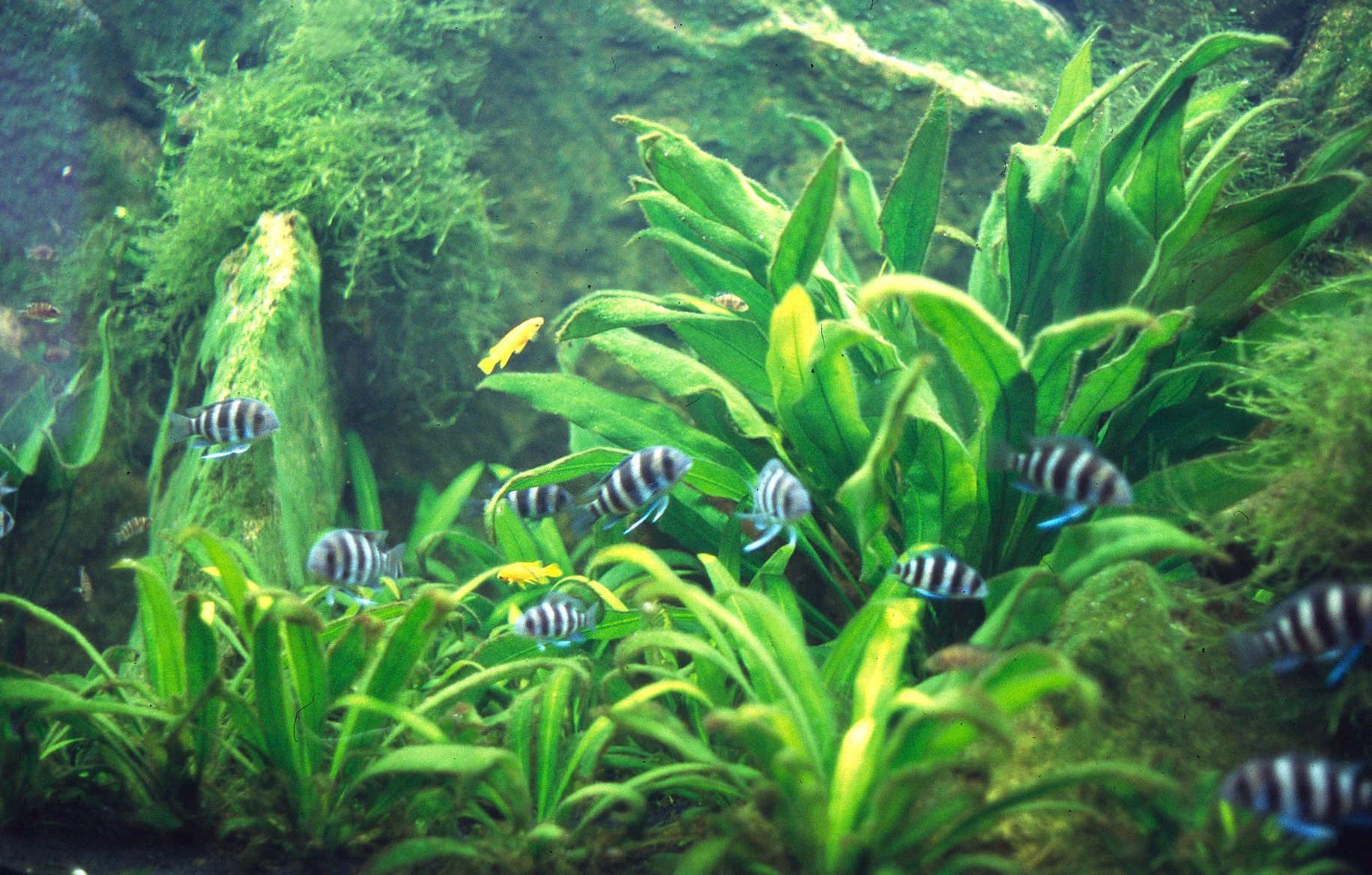 Amazon Sword Plant Related Keywords Amp Suggestions Amazon Sword Planted Aquarium Plants Freshwater Aquarium Plants