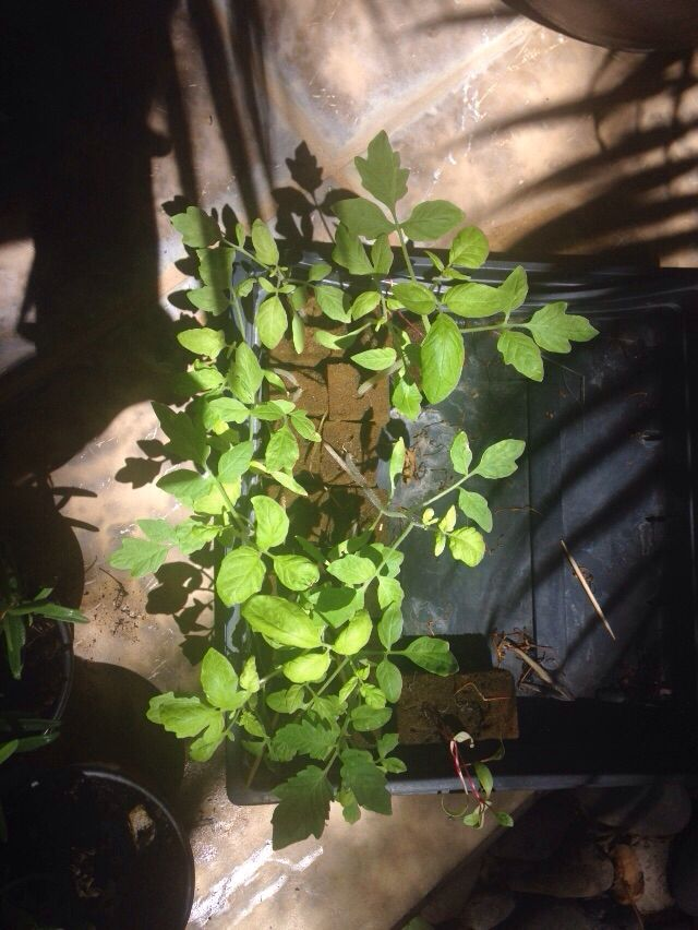 Son nuestras plantas de jitomate y solo quedan 3 plantas de acelga