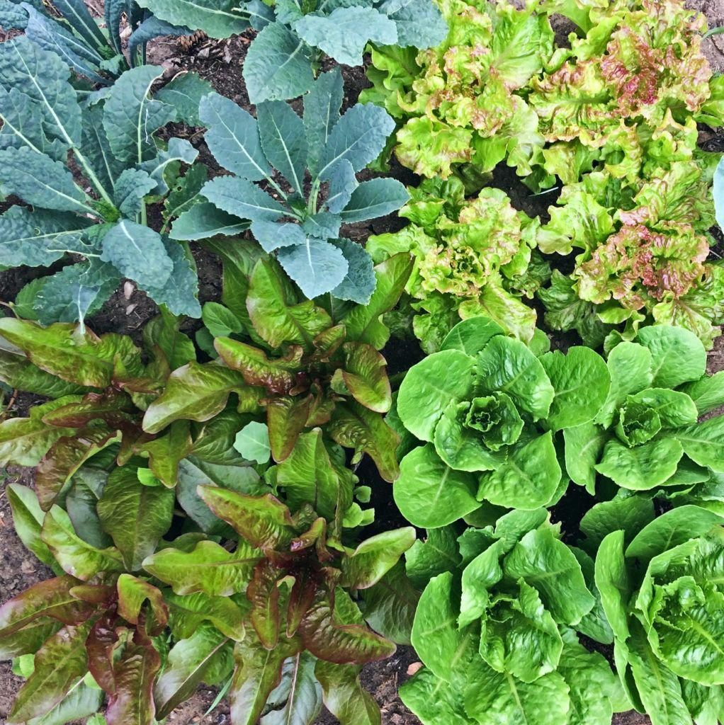 Urban Vegetable Gardening For Beginners: If We Might Garden Without Any Disturbance From The