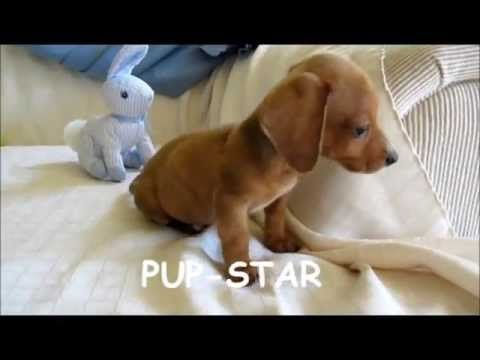 Miniature Standard Teacup Dachshund Puppies For Sale In New