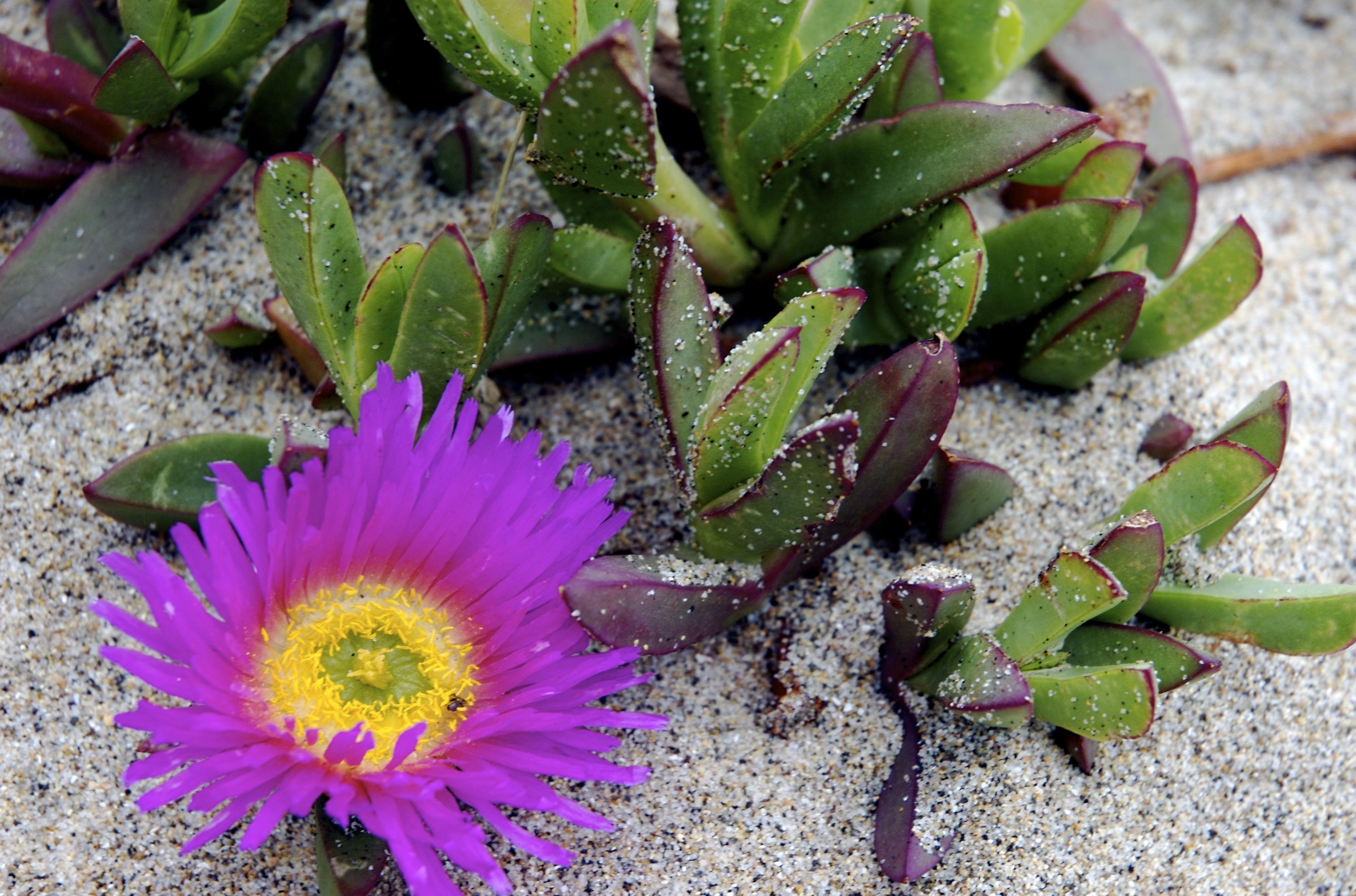 weskus vygie in California ) Plants, Cacti, succulents