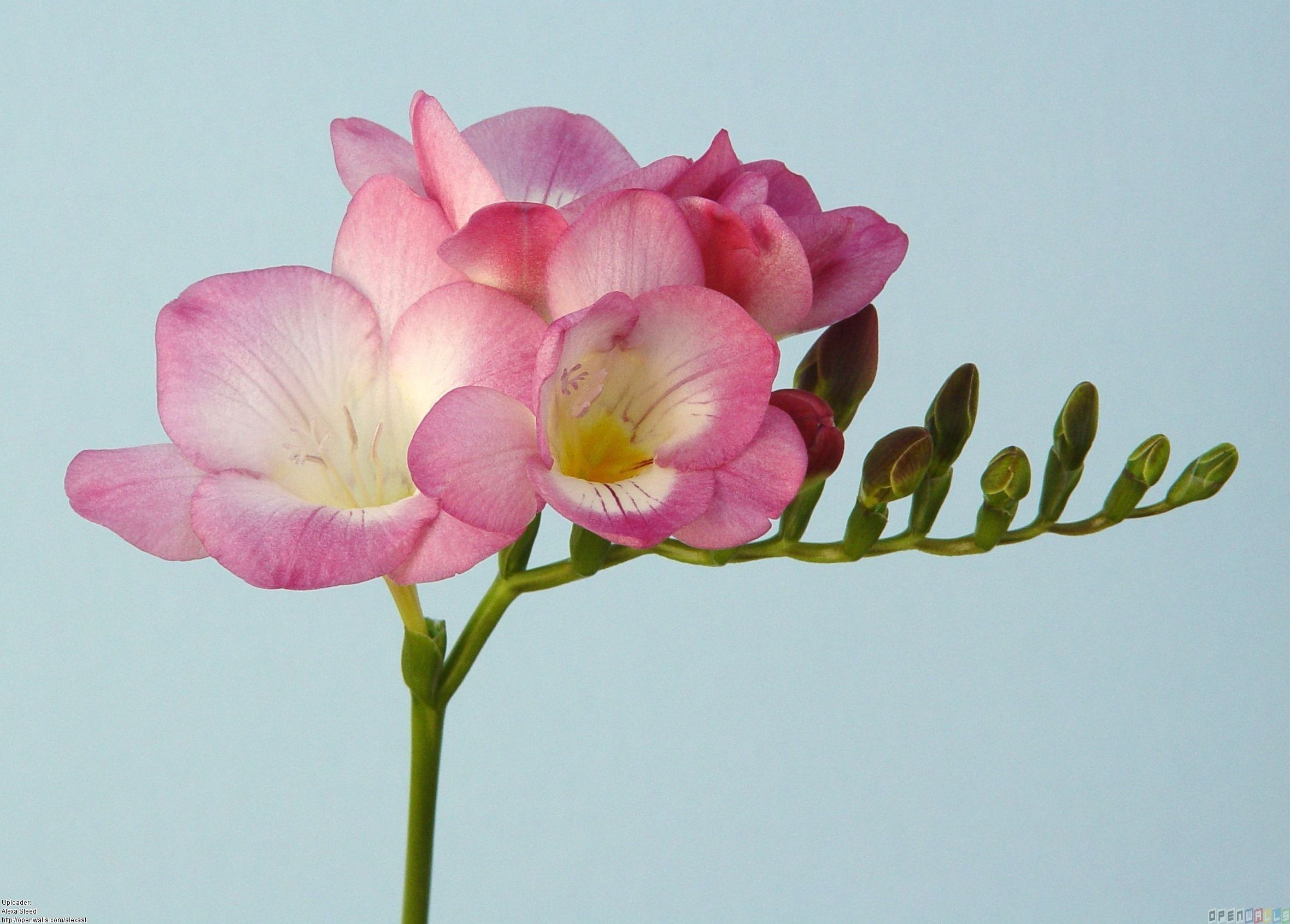 Pink Freesia The Symbol Of Sweetness Friendship Innocent Thoughtfulness And Trust Freesia Flowers Fragrant Flowers Orchid Seeds
