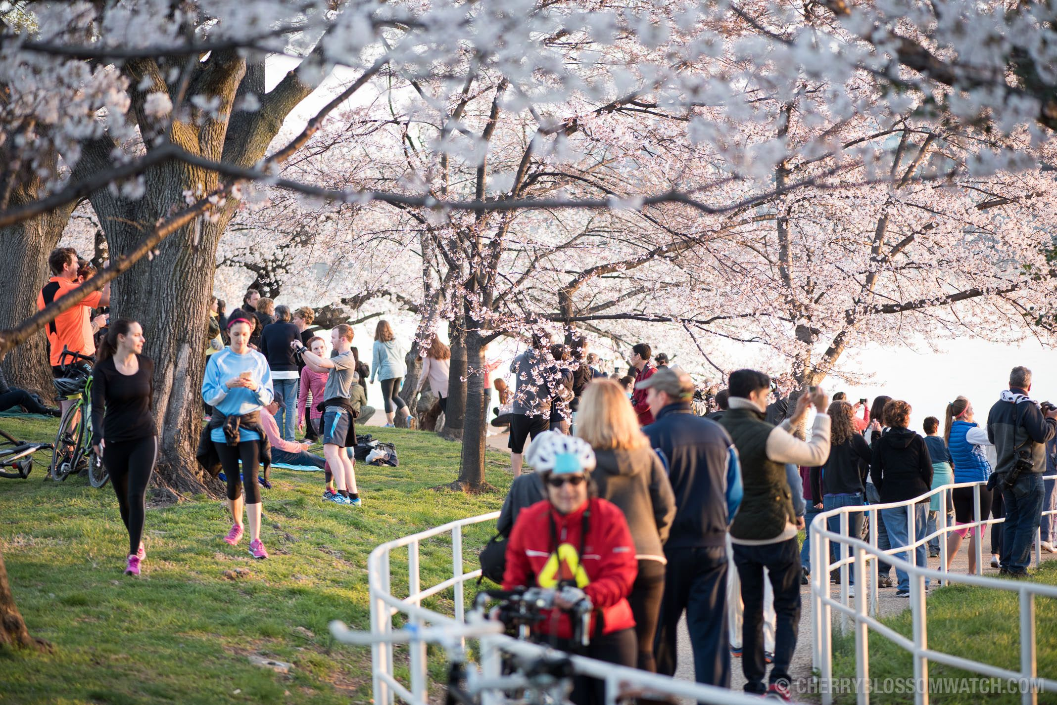 Washington Dc Cherry Blossoms March 24 2016 Cherry Blossom Festival Cherry Blossom Parade Cherry Blossom