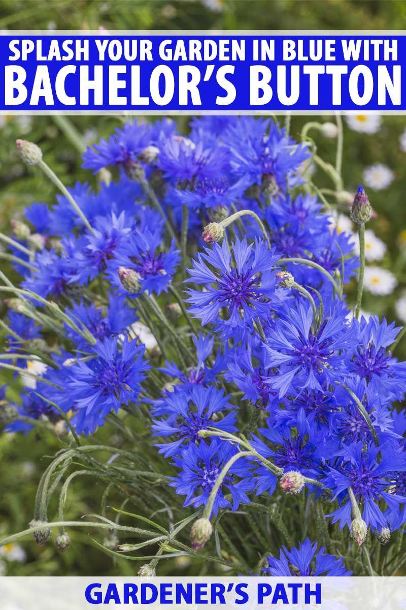 How To Grow Bachelor S Button Cornflower Gardener S Path Bachelor Button Flowers Flower Garden Design Bachelor Buttons