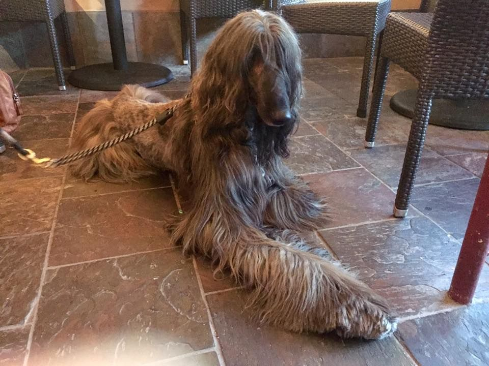 Adoptable Dogs Afghan Hound Rescue Afghan Hound Afghan Hound