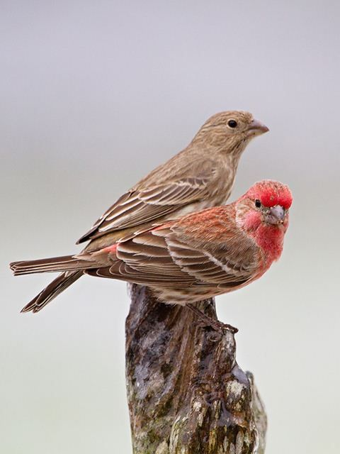 House Finch Male And Female A Dozen Were Feeding On My Crabapple Tree This Gorgeous December Morning Finches Bird Backyard Birds Watching Small Birds