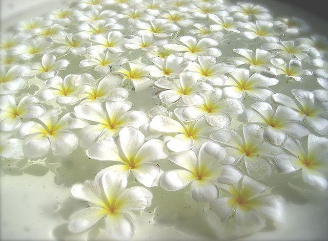 White Flowers Kalachuchi Flower Garden Design Plumeria Flowers Flowers