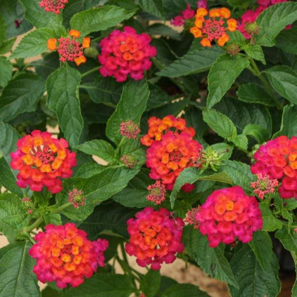 Wholesale Lantana Elegance Rooted Plug Liners Lantana Broadleaf Evergreen Different Plants