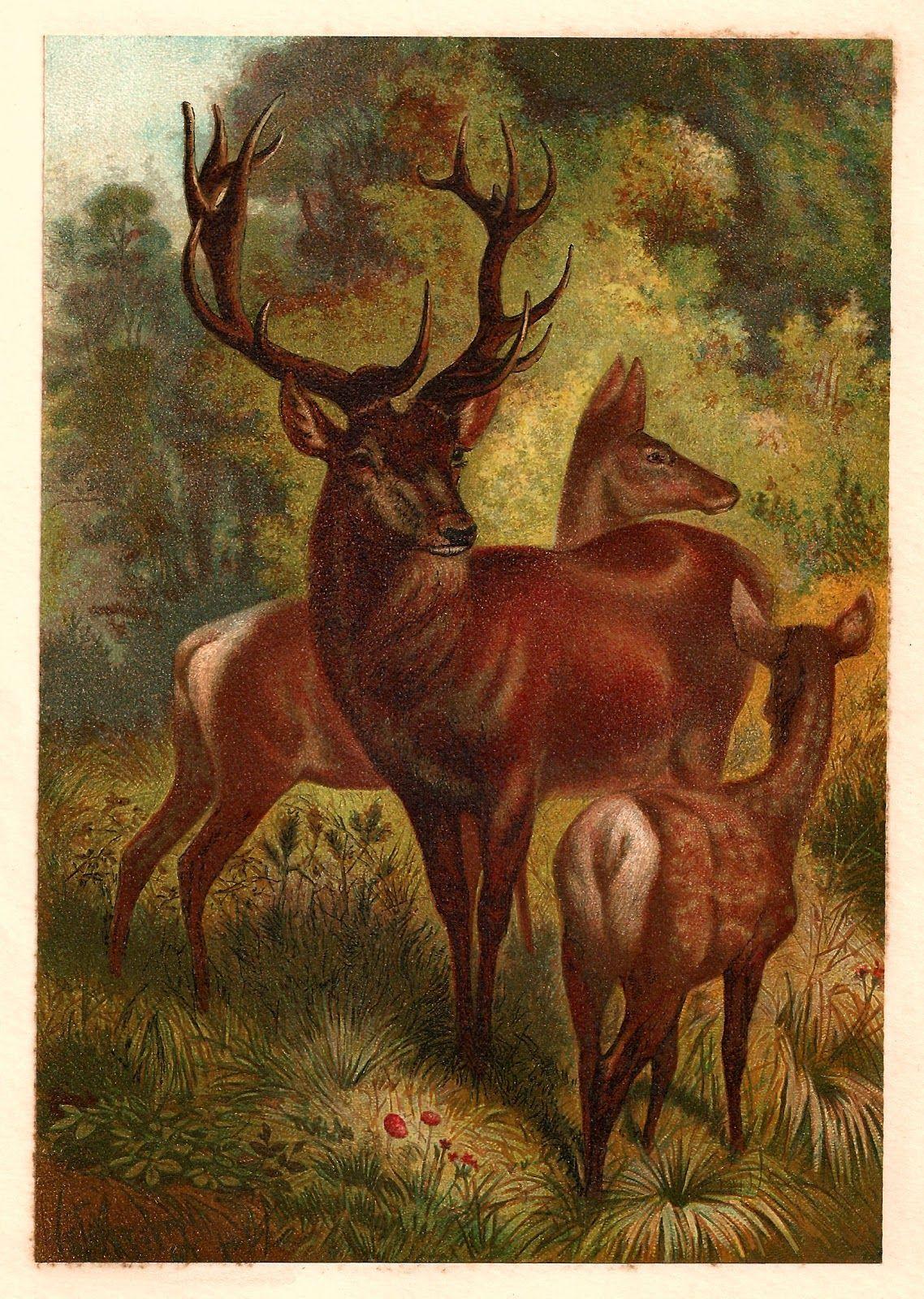 Antique Images: Free Animal Graphic: 1885 Antique Red Deer