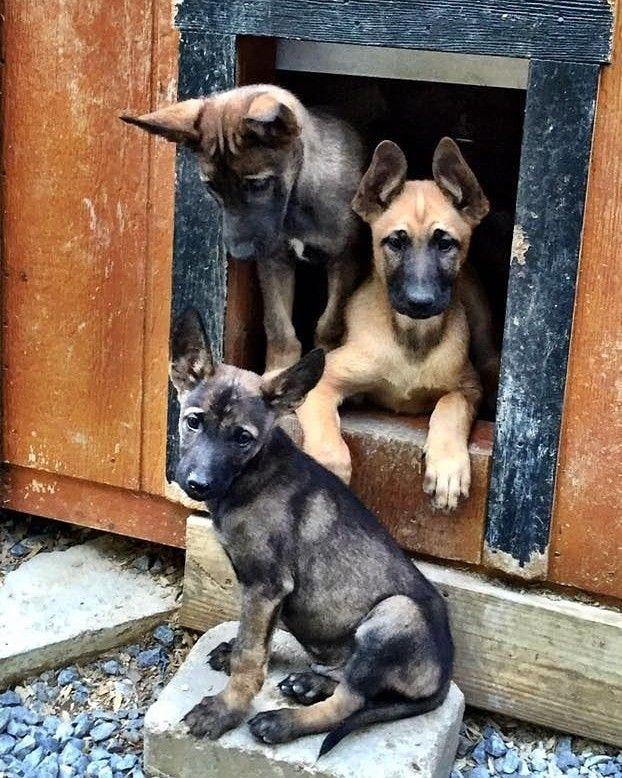 Good Morning... in 2020 Belgian malinois puppies