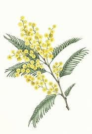 Mimosa drawing
