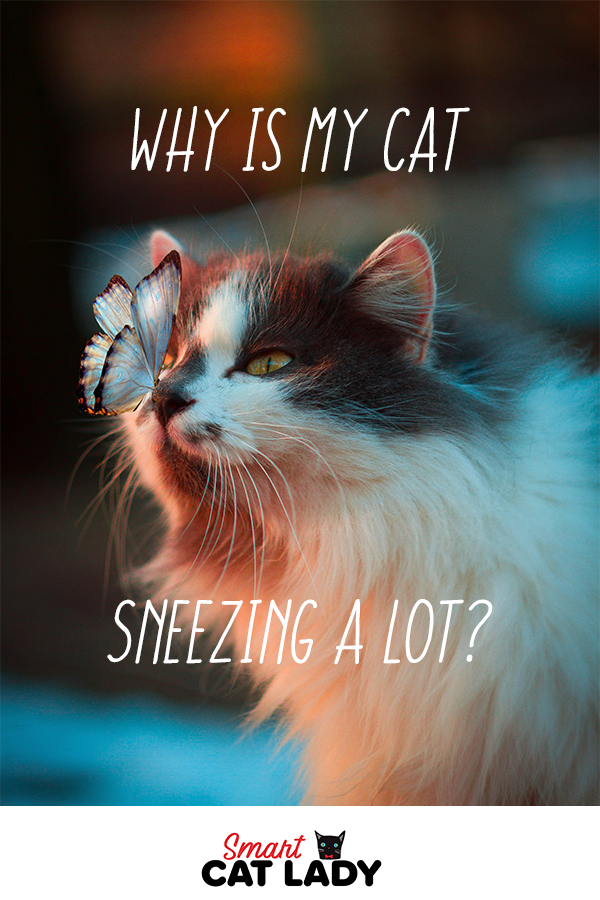 Why Is My Cat Sneezing A Lot Cat Sneezing Cat In Heat Cat Sneezing Remedies