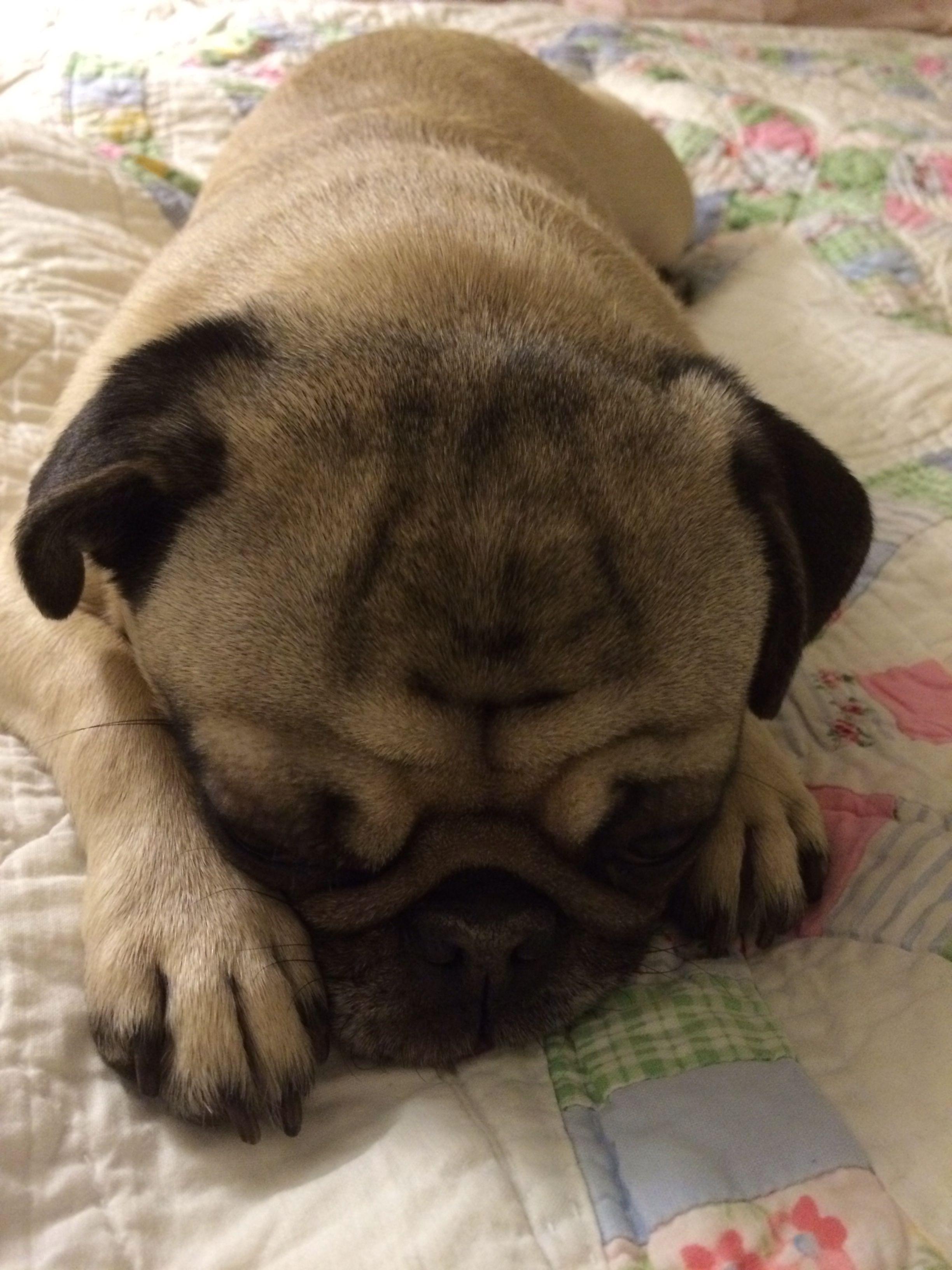 Billie Says Good Night Pugs Animals Bulldog