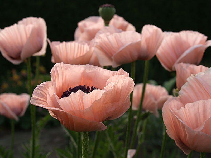 In Praise Of Pink Poppies Garden Flowers Pink Poppies Poppies