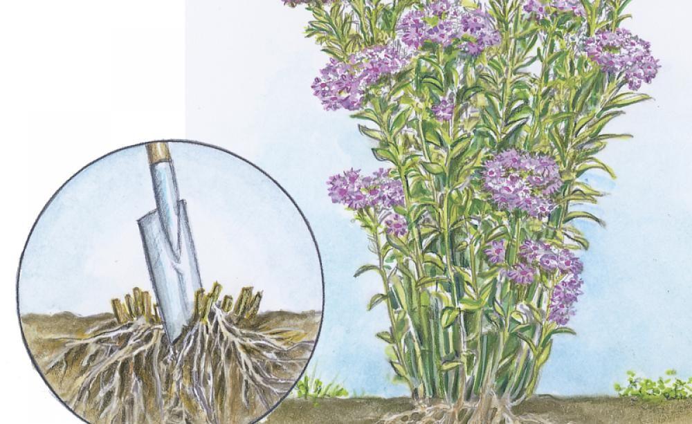 Stauden Vermehren: Alle Methoden Im Überblick | Beets Feuerkorb Im Garten Gestaltungstipps