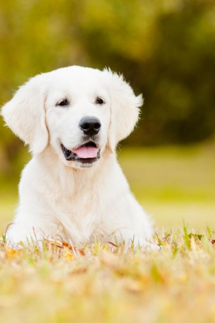 White English Lab Puppies Akc Registered English Lab Puppies