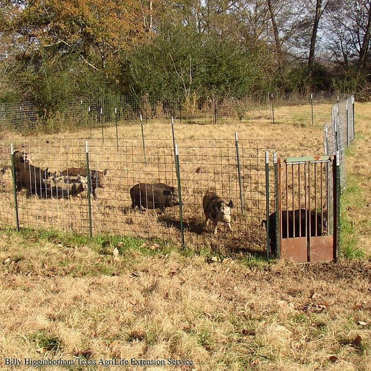 """Feral hogs (Sus scrofa) are an old world species belonging to the family Suidae, and in Texas include European wild hogs, feral hogs, and European-feral crossbreeds..."""