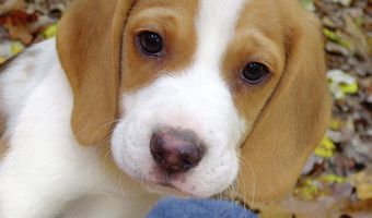 Orange White Beagle White Beagle Dog Communication