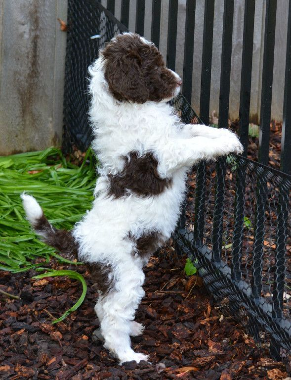 Image Result For Chocolate And White Goldendoodle Goldendoodle
