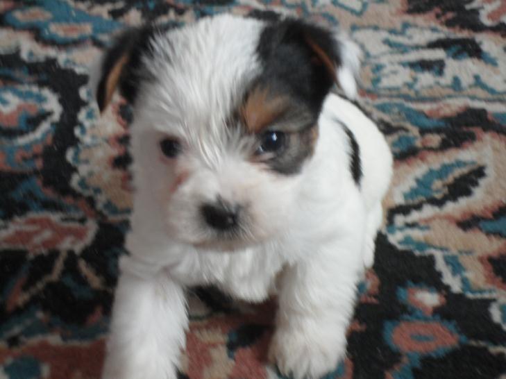 Dachshund Puppies For Sale Near Nj Ideas