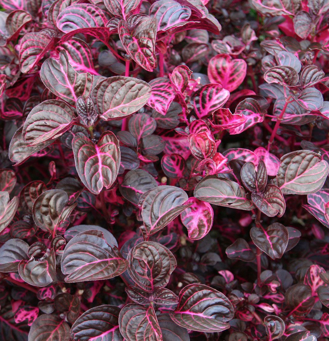 Blood Leaf Plant Iresine Herbstii There Are Many Cultivars Of This Mounding Or
