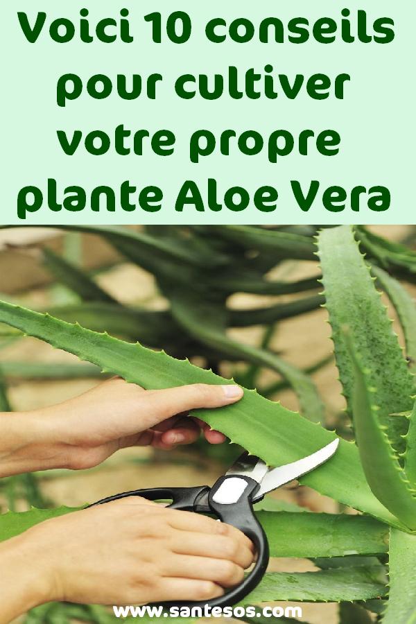 Voici 10 Conseils Pour Cultiver Votre Propre Plante Aloe Vera