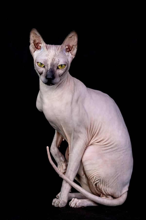 Are Sphynx Cats Smelly? What You Must Keep In Mind