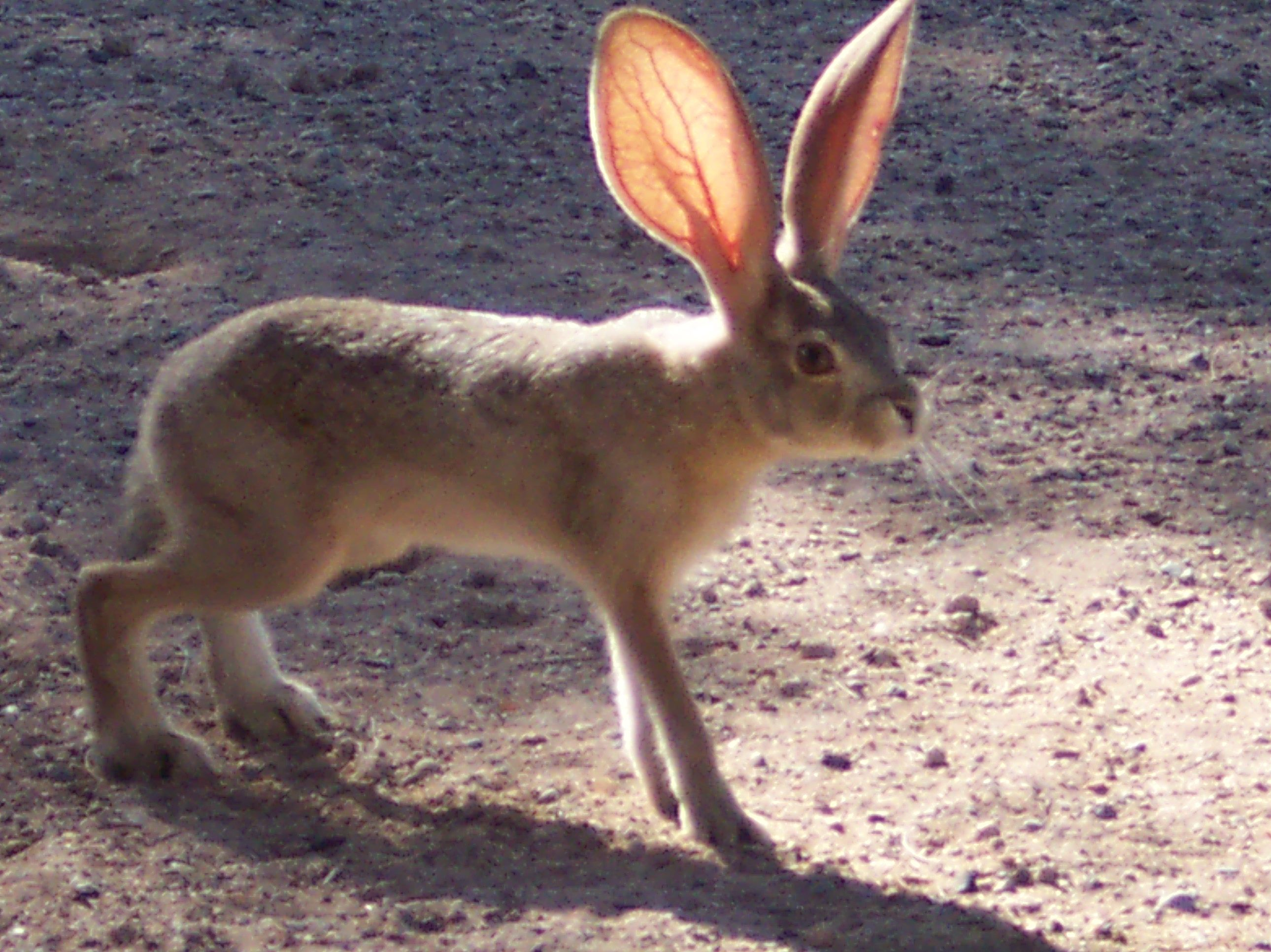 The large ears are thought to be part of the animal's