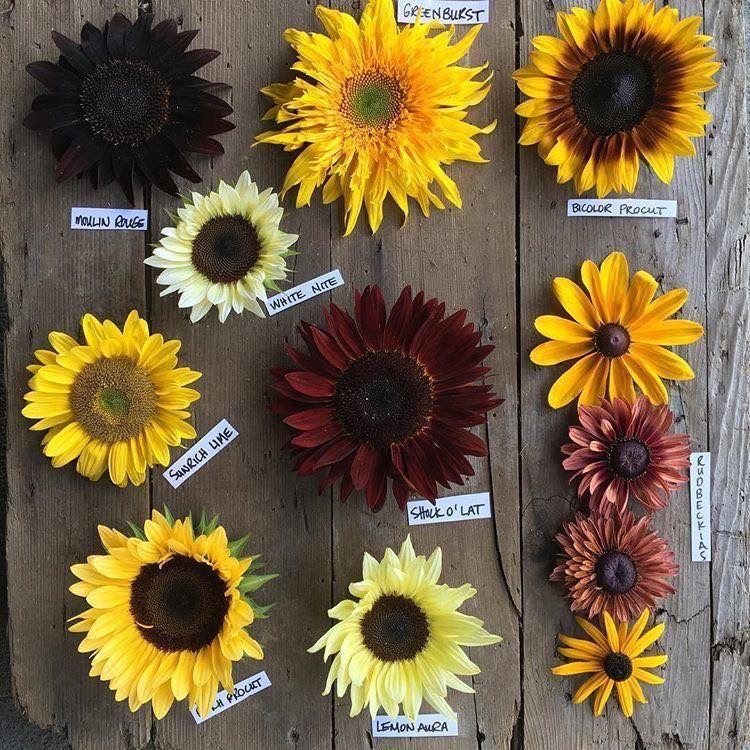 Sunflower Types In 2020 Types Of Sunflowers Sunflower Garden Sunflower Patch