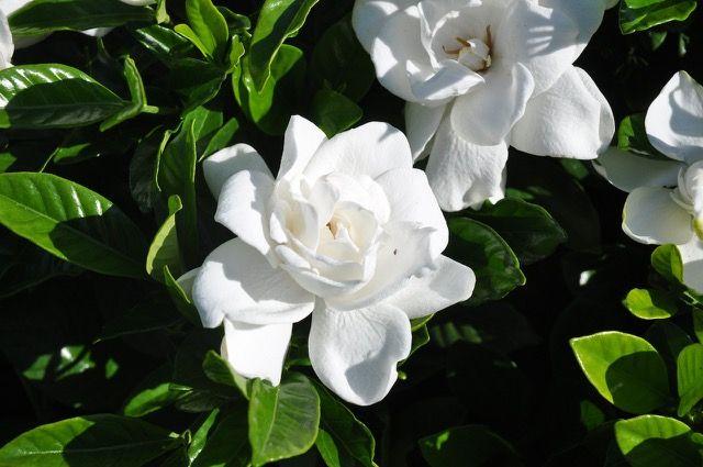 Summer Snow Gardenia Zone 6 Hardy And Fragrant Gardenia Snow