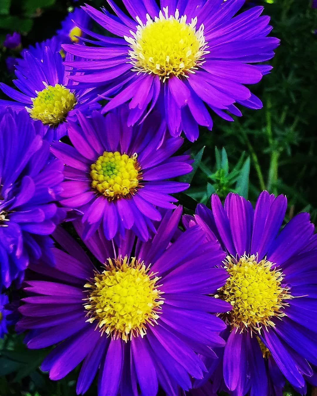 Pin By Nana On Flowers Aster Flower Best Flower Pictures Flowers Photography