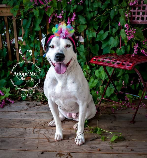 Urgent 12 14 16 Gigi Bluetick Coonhound American Bulldog Mix Adult Female Large Gigi Is House Broke American Bulldog Mix Dogs Bulldog Training