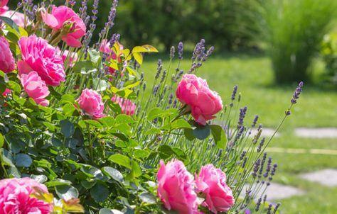 rosen unterpflanzen diese gr ser stauden und kr uter passen dazu garten pinterest g rten. Black Bedroom Furniture Sets. Home Design Ideas