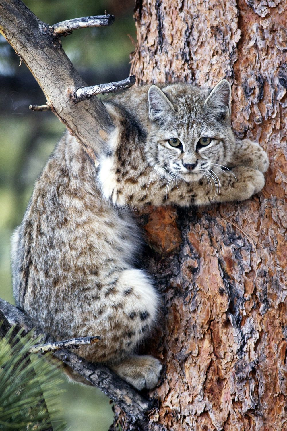 Bobcat in Ponderosa Big cat species, Cat anatomy, Cute