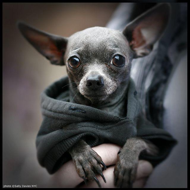 My Next Baby Shall Be A Grey Short Hair Chihuahua Love Chihuahua Dog Parade