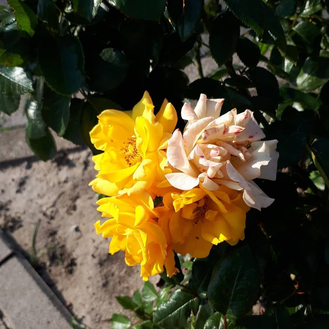 Schonen Samstag Blume Blumen Cicek Flor Flower Zahra Garten Vorgarten Pflanzen Pflanze Gestalten Balkon Dekor Instagram Posts Instagram Garden