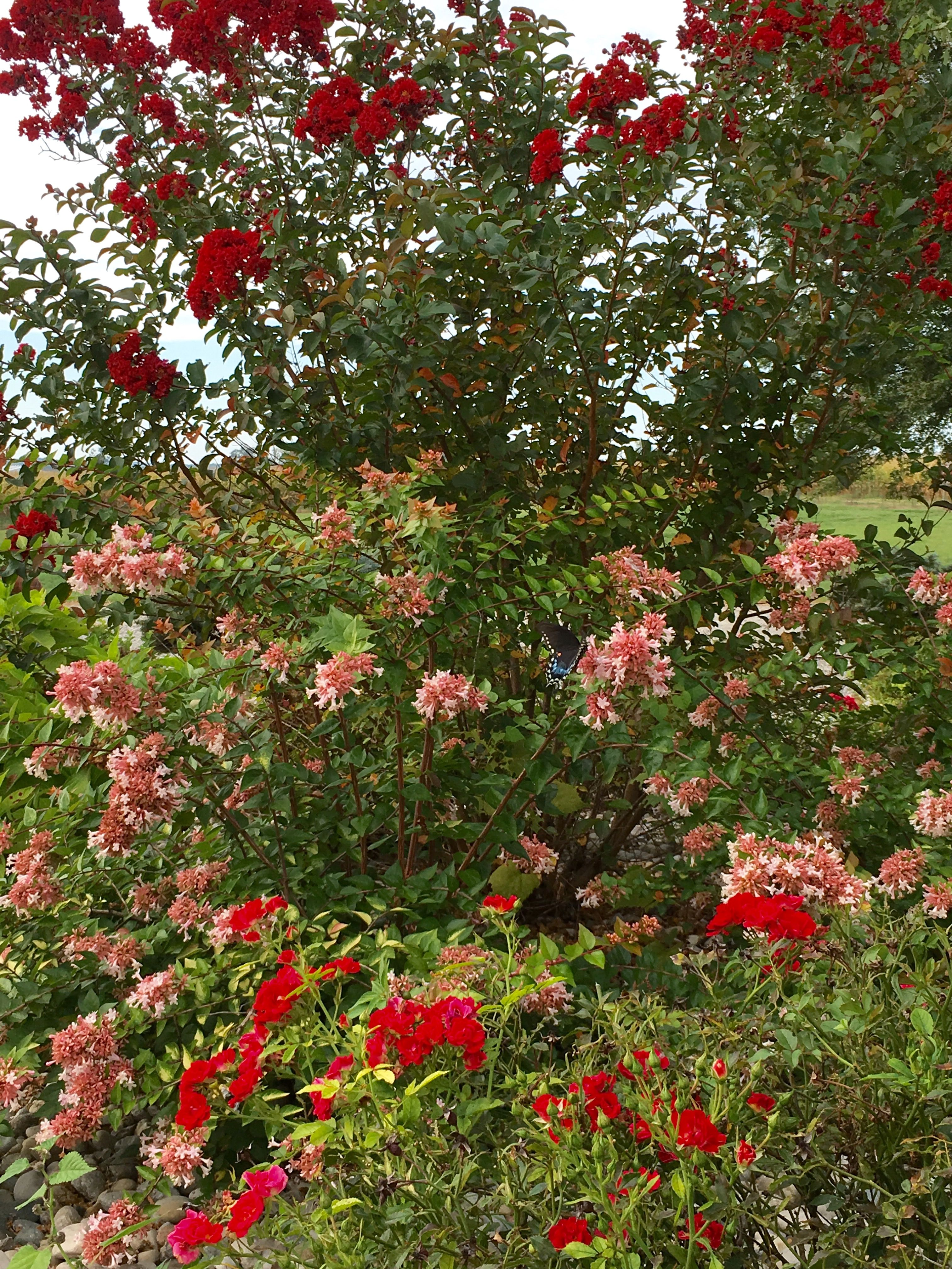 Crape Myrtle Canyon Creek Abelia With Red Drift Roses Lawn