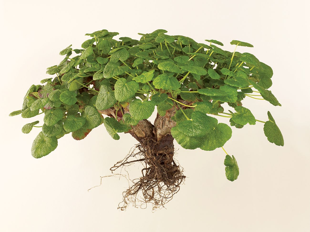 Pelargonium cotyledonis is endangered on its native St. Helena, an island off the coast of West Africa because of roaming goats, this species  Resembling a Lilliputian tree with heart-shape leaves, it blooms white from spring into summer and appreciates a bit of summer shade.