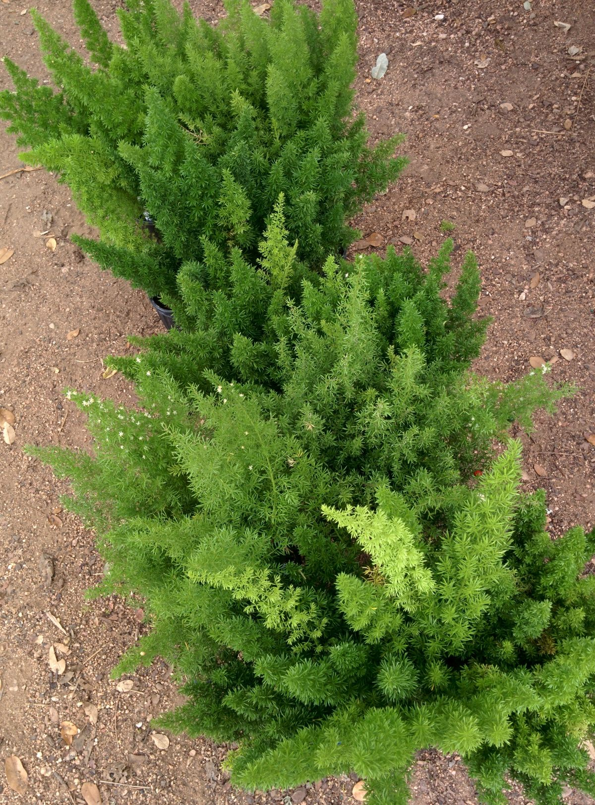 Deer Resistant Plants For Austin And Central Texas With Images Deer Resistant Plants Drought Resistant Plants Plants