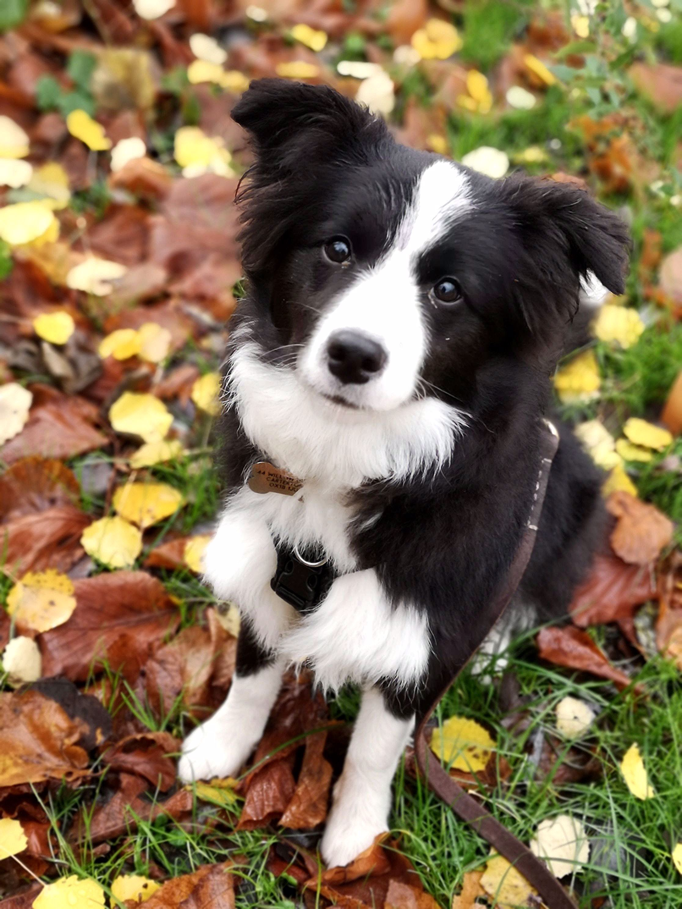 Most Recent Free Border Collies Funny Popular In 2020 Collie Puppies Border Collie Puppies Dogs