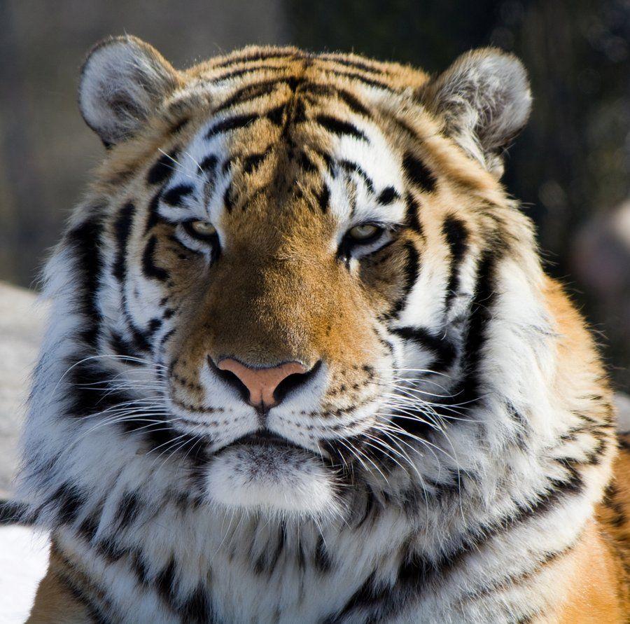 Majestic Tiger - Google Search   The Majestic Tiger   Pinterest ...